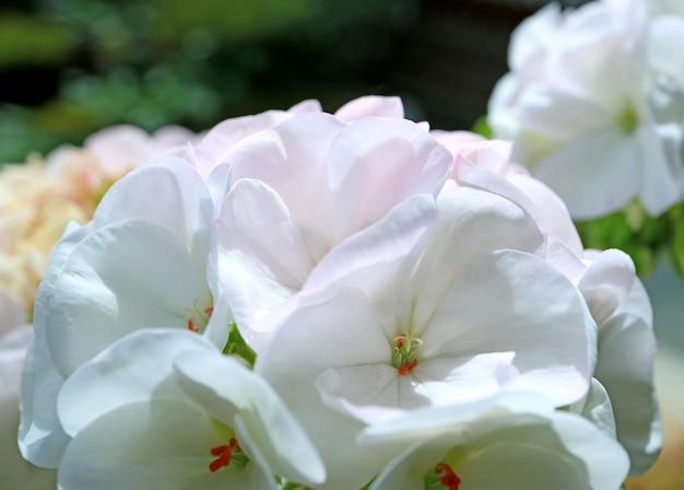 Zamknij się z kwitnących białych kwiatów geranium w świetle słonecznym rano