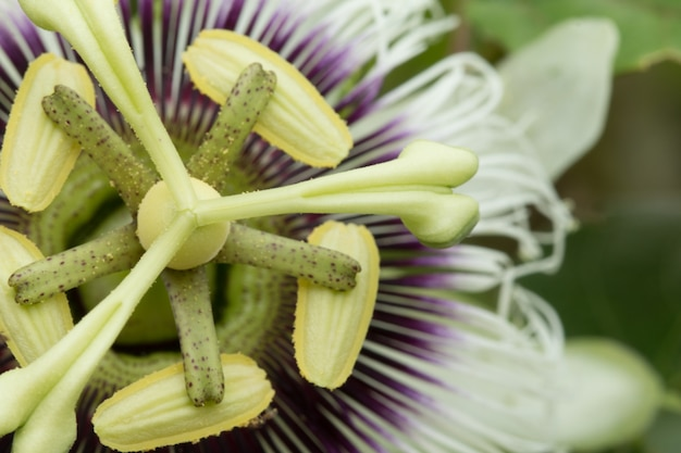 Zamknij się z passiflory (passiflora incarnata)