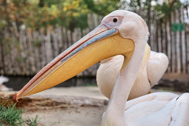 Zamknij się z pelikana ptaka