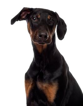 Zamknij się z puppy doberman pinscher patrząc w kamerę
