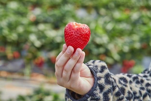 Zamknij się z ręki trzymającej świeże truskawki ekologicznej.
