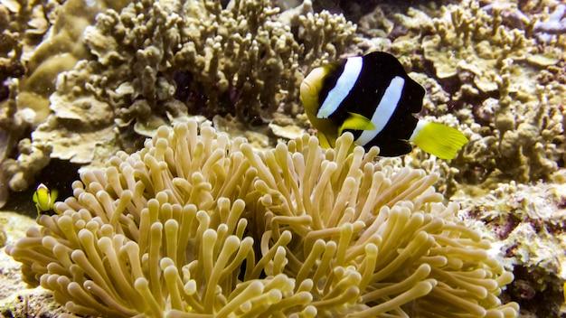 Zamknij się z ryb black anemone na malediwach.