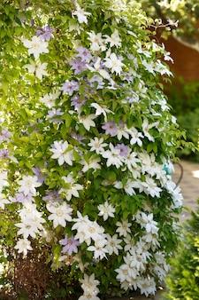 Zamknij się zdjęcie białych kwiatów powojników w ogrodzie.