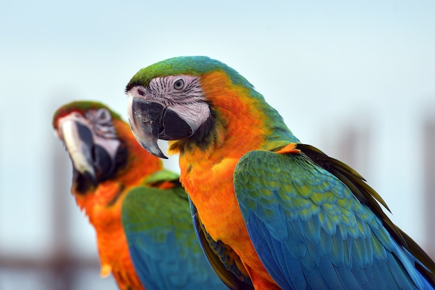 Zamknij się zdjęcie papug ara