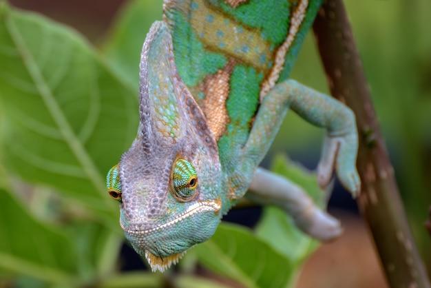 Zamknij się zdjęcie zawoalowanej twarzy kameleona