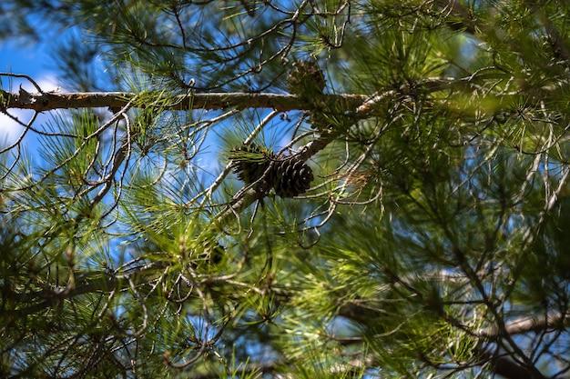 Zamknij się zdjęcie zielonej igły sosnowej. małe szyszki na końcach gałęzi. rozmyte igły sosny w tle
