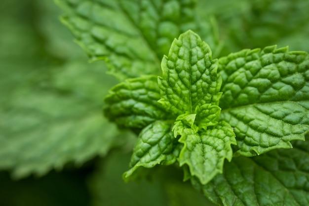 Zamknij się zielone liście mięty pieprzowej. świeża mięta.