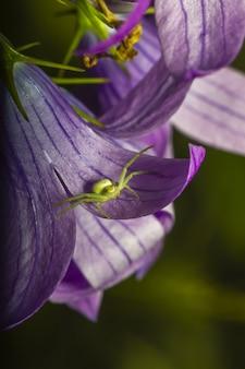 Zamknij się zielony pająk na purpurowy kwiat