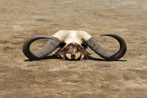 Zamknij starą czaszkę bawołów w parku narodowym kenii. afryka