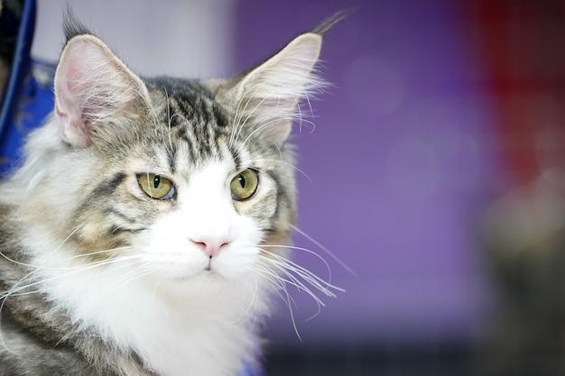 Zamknij twarz kota tygrysa i długie wąsy, długie biało-brązowe włosy.