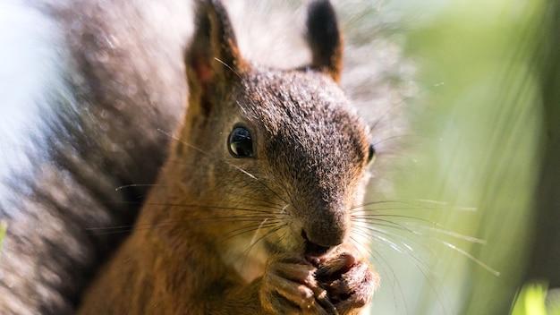 Zamknij w górę wiewiórka pospolita sciurus vulgaris jedzenia orzechów. tomsk, syberia