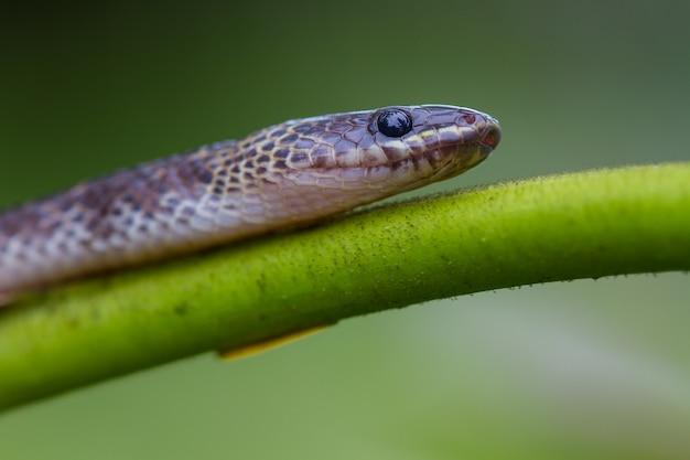 Zamknij węża blue krait