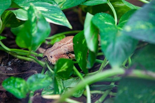 Zamknij węża ukrywającego się w gałęziach drzewa