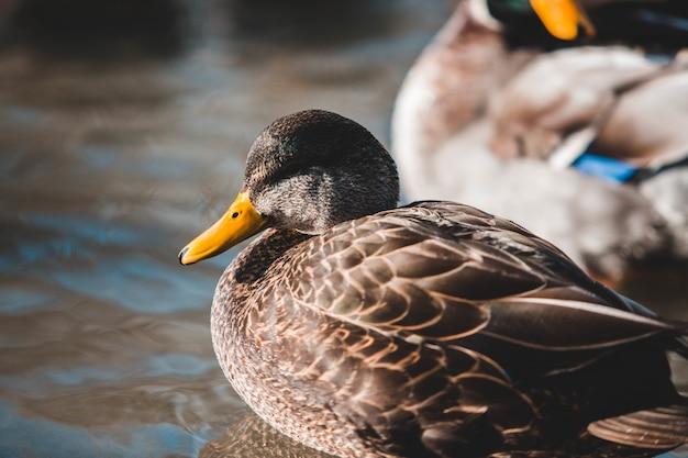 Zamknij widok brązowej kaczki