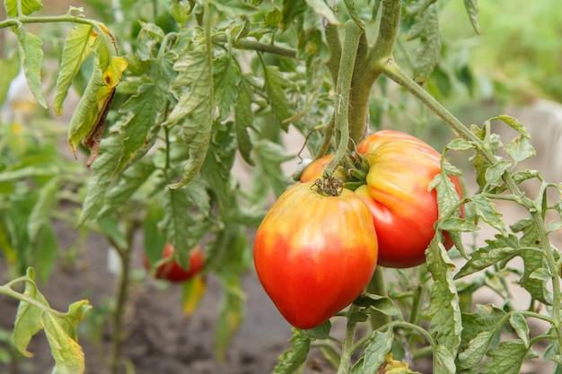 Zamknij widok dojrzałych pomidorów rosnących w ogrodzie.