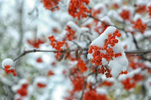 Zamknij widok gałęzi jarzębiny pokrytej śniegiem