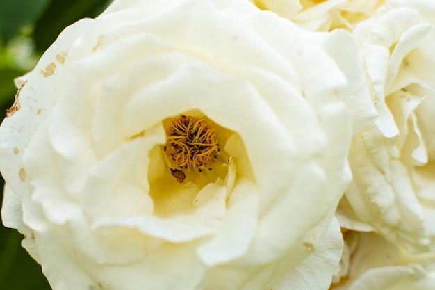 Zamknij widok kwiatów róży z kwitnącą bielą w ogrodzie