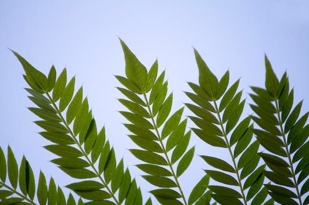 Zamknij widok makro nawet pierzaste ulotki typu liści drzewa.