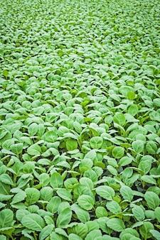 Zamknij widok młodych roślin kapusty