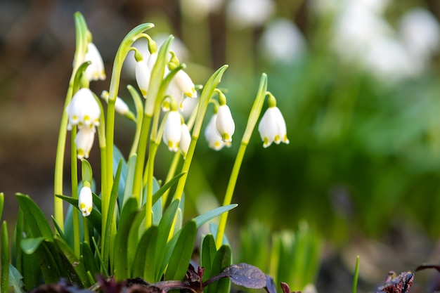 Zamknij widok na małe kwiaty przebiśniegi rosnące wśród suchych liści w lesie.