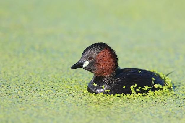 Zamknij widok na perkoz w hodowlanym upierzeniu pływa w zielonych roślinach wodnych