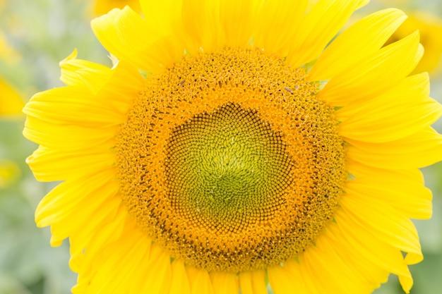 Zamknij widok żółtego słonecznika, letnie tło