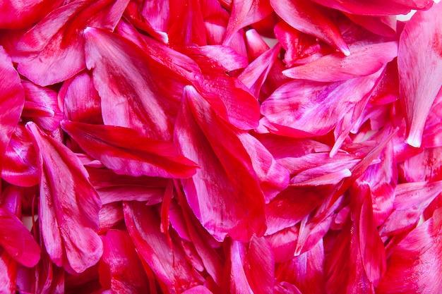 Zamknij wiele płatków bordowej piwonii. kwiatowy tło lato