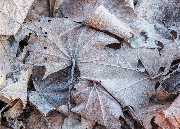 Zamknij zamarznięty liść klonu szronu wśród mroźnej trawy, liści i innych roślin po stronie wczesnego zimnego poranka oświetlonego światłem słonecznym