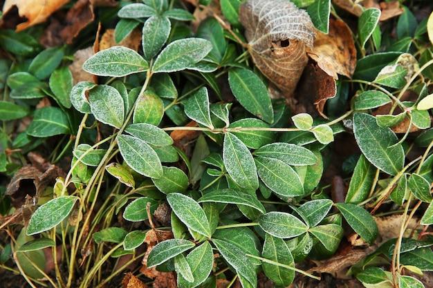 Zamrożone rośliny, z bliska. naturalna powierzchnia