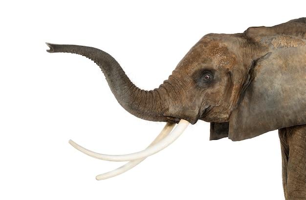 Zamyka up afrykański słoń podnosi swój bagażnika, odizolowywający na bielu