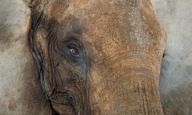 Zamyka up afrykański słoń