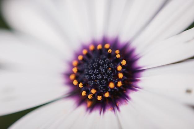 Zamyka up afrykańskiej stokrotki osteospermum z dużą ilością pyłku w nim.