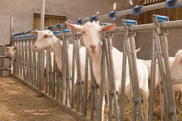 Zamyka up białe kózki w gospodarstwie rolnym