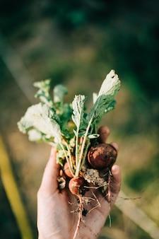 Zamyka up błotnista rzodkiew w rękach. ogrodnictwo przydomowe. styl życia
