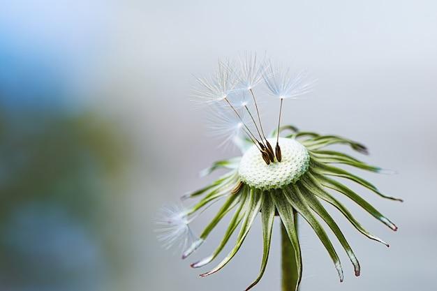 Zamyka up dandelion głowa z kilka puszystymi wysuszonymi dandelion pappus
