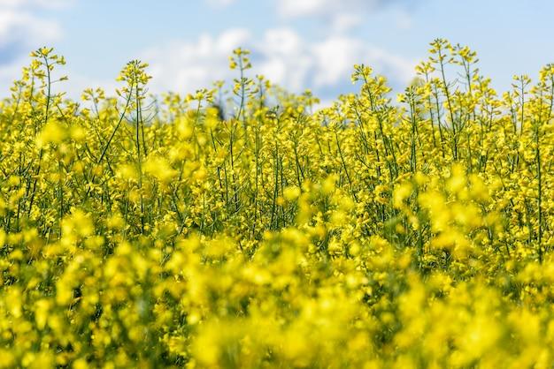 Zamyka up delikatny kwitnący rapeseed uprawy kwiat w kultywującym polu, selekcyjna ostrość.