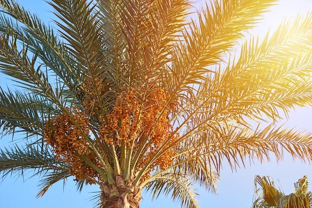 Zamyka up drzewko palmowe z daktylowe owoc