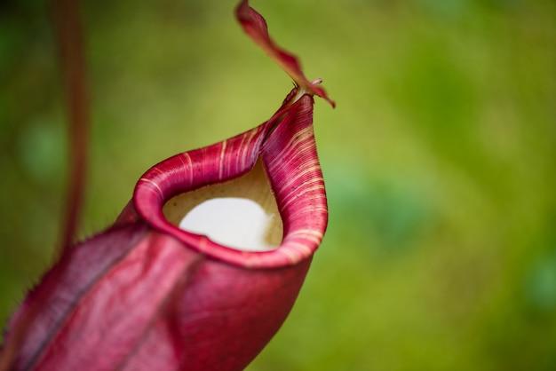 Zamyka up dzbaneczniki lub małpie filiżanki w roślinie, niebezpieczna roślina dla insekta.