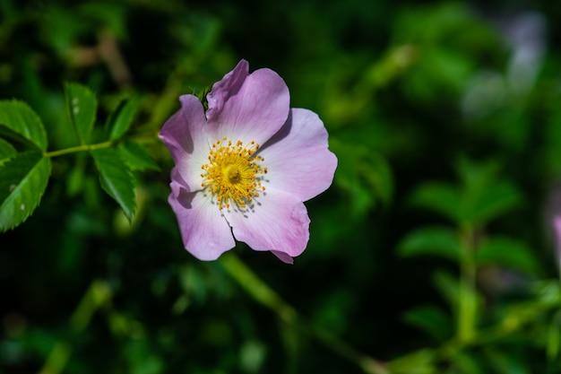 Zamyka up dzika pies róży kwiaty