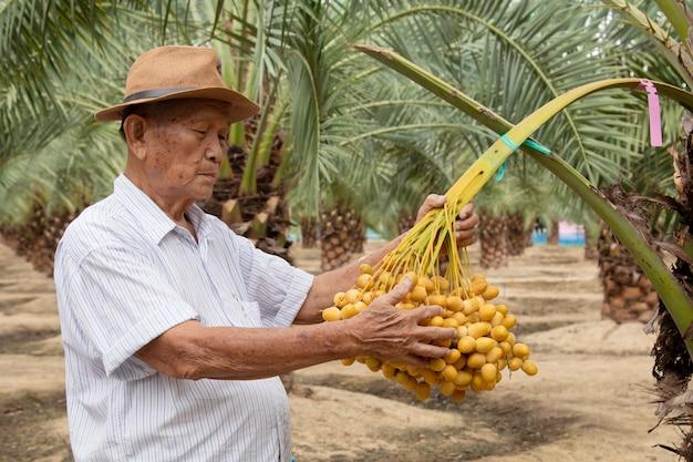 Zamyka up ogrodniczka dba daktylowej palmy plantaci