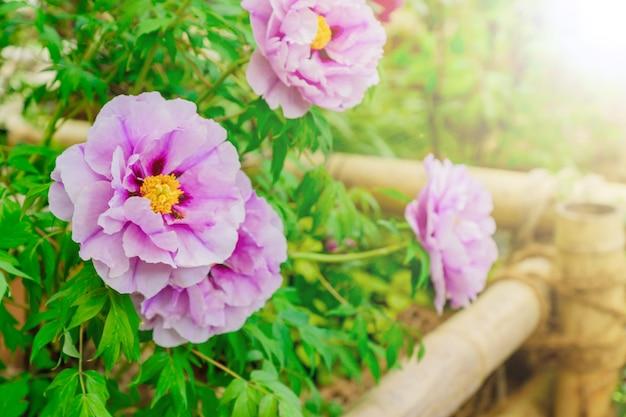 Zamyka up pięknej kwitnienie różowa drzewna peonia w ogródzie w słonecznym dniu.
