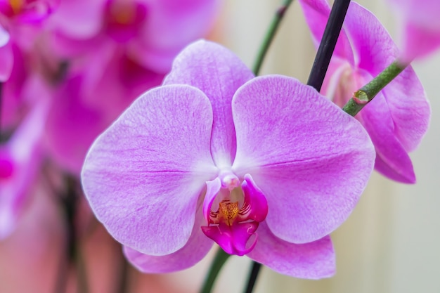 Zamyka up piękny kwitnący purpura kwiat phalaenopsis orchidea. egzotyczne tło kwiatowy