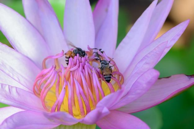 Zamyka up purpurowy lotos i pszczoła