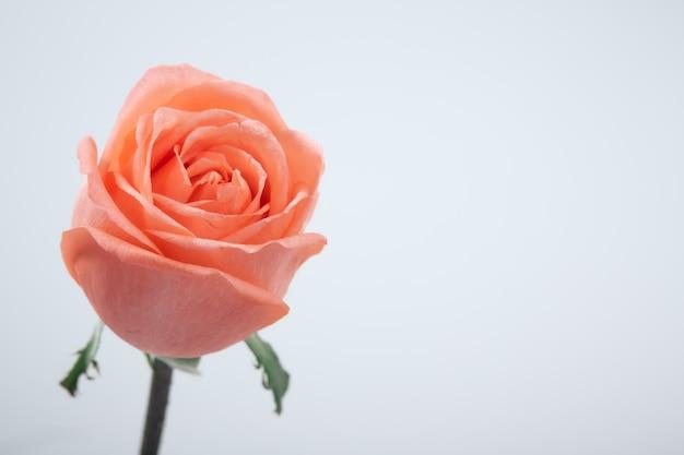 Zamyka up rozmyta menchii róża na bielu