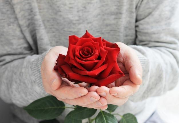 Zamyka up rozpieczętowany czerwieni róży pączek w męskich rękach.