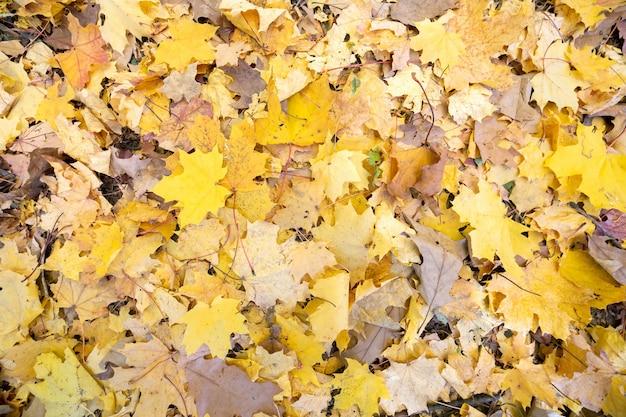 Zamyka up wiele spadać żółci liście zakrywa ziemię w jesień parku.