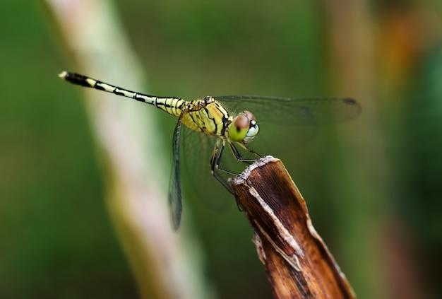 Zamyka up żółty dragonfly na kwiat trawie.