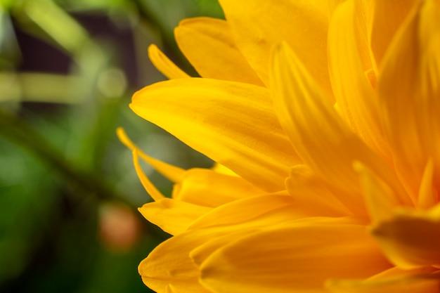 Zamyka up żółty kwiat, makro-. kwiatowy i naturalny.