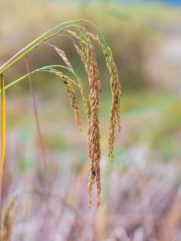 Zamyka up żółty ryżu pole. pola ryżowe w tajlandii. złoty ryż na polach. tajskie żółte nasiona ryżu w uchu niełuskanego