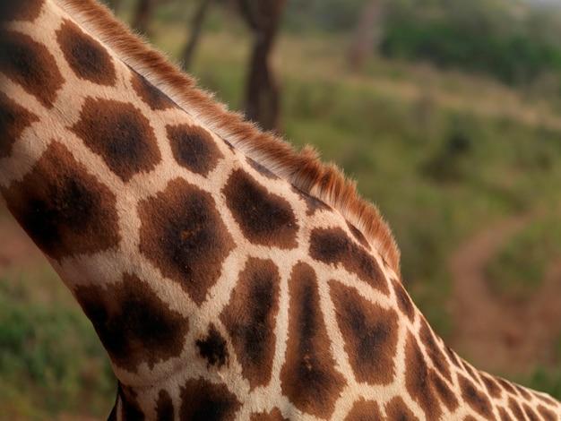 Zamyka up żyrafy szyja w kenja afryka